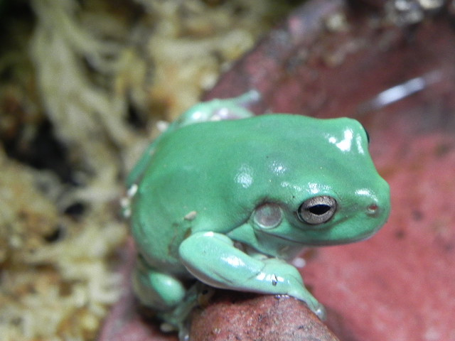 Baby Tree Frogs For Sale Baby Blue Whites Tree Frogs