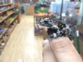 Bird Poop Tree Frogs for sale