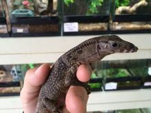 Varanus rudicollis - Black Rough Neck Monitor for sale