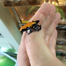 Orange Splash Back Dart Frogs for sale