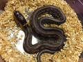 Chocolate Abberant California King Snake for sale | Snakes at Sunset