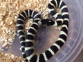 Desert Banded California King Snake for sale | Snakes at Sunset