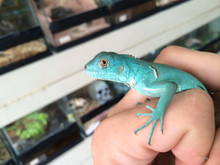 Blue Green Iguana For Sale