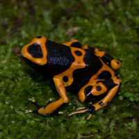 Bumble Bee Dart Frog Adults for sale (Dendrobates leucomela)