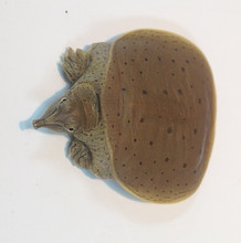 Guadalupe Spiney Soft Shell Turtle for sale