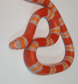 Tangerine Albino Honduran Milk Snake for sale