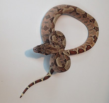 Baby Hypo Salmon Boa Constrictor for sale