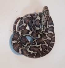 Anery Mexican Rat Snake for sale