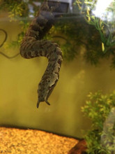 Tentacled Snake for sale