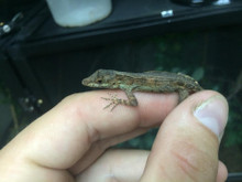 Anguilla Bank Anole for sale