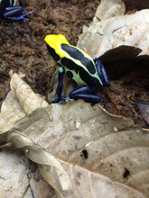 Natasha Dart Frogs for sale from Snakes at Sunset