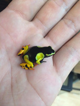 Giant Painted Mantella frog for sale