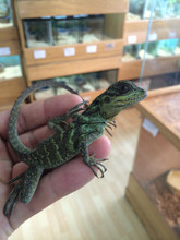 Sailfin Dragons for sale