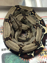 Guyanan Red Tail Boa for sale | Snakes at Sunset