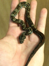 Nicaraguan Dwarf Boa for sale | Snakes at Sunset