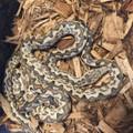 Isabel Phase Soloman Island Tree Boas | Snakes at Sunset