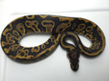 Leopard Ball Python for sale | Snakes at Sunset