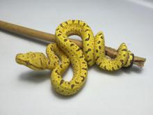 Kofiau x Merauke Green Tree Python for sale | Snakes at Sunset