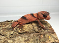 Knob Tail Geckos for sale | Snakes at Sunset