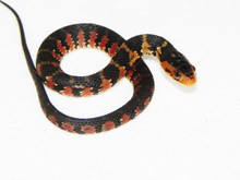 Florida Water Snake for Sale