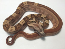 Hypo Motley Boa Constrictor for sale | Snakes at Sunset