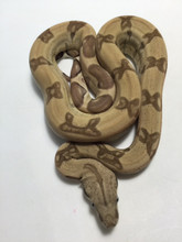 Ghost Boa Constrictor for sale   Snakes at Sunset