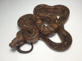 Leopard Boas for sale | Snakes at Sunset
