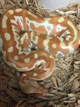 T+ Albino Blood Python for sale | Snakes at Sunset