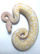 Albino Black Pastel Ball Python for sale | Snakes at Sunset