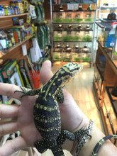 Cumingi Water Monitors for sale | Snakes at Sunset