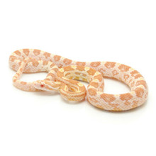 Butter Corn Snake for sale | Snakes at Sunset