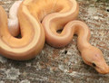 Coral Glow Genetic Stripe Ball Pythons for sale (Python regius)