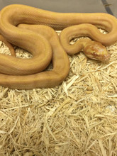 Albino Carpet Pythons for sale | Snakes at Sunset