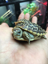 Ornate Box Turtles for sale | Snakes at Sunset