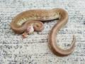 Pastel Gargoyle Ball Python for sale