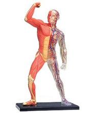 4D Vision Visible Human Muscle & Skeleton Anatomy Model Kit - 26058