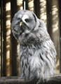 Wise grey owl - A5 card
