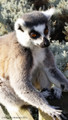Ring Tailed Lemur - A5 card
