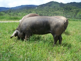 large-black-hog-tamworth-pig.jpeg