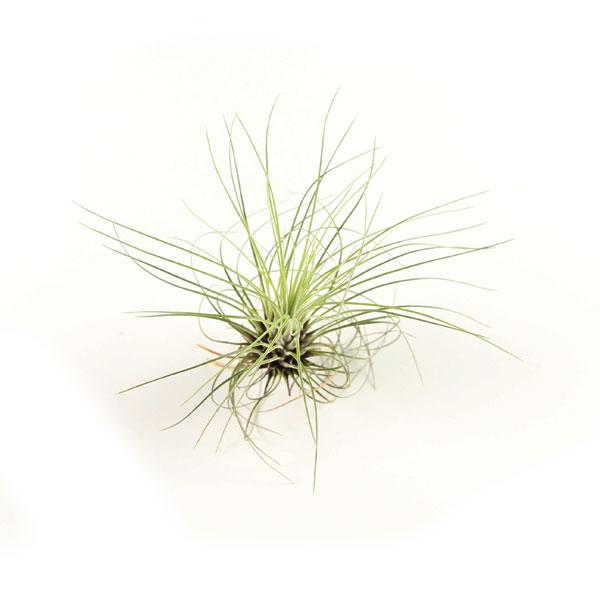 filifolia.jpg