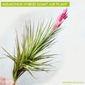 Aeranthos Hybrid Giant Air Plant