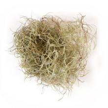 spanish moss air plant tillandsia