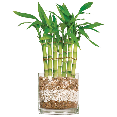 Lucky Bamboo Stalks, Lucky Bamboo Arrangements and Accessories