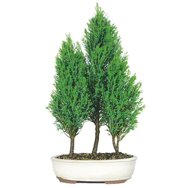 cypress tree care instructions