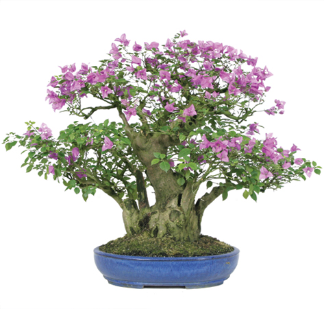 bougainvillea-bonsai-tree.jpg