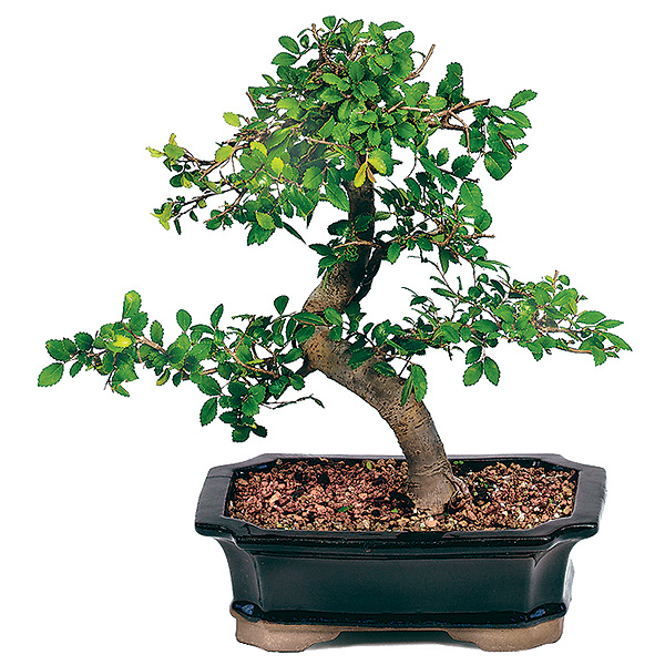 chinese elm bonsai care bought bonsai tree