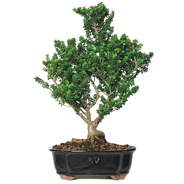 dwarf yaupon holly bonsai care