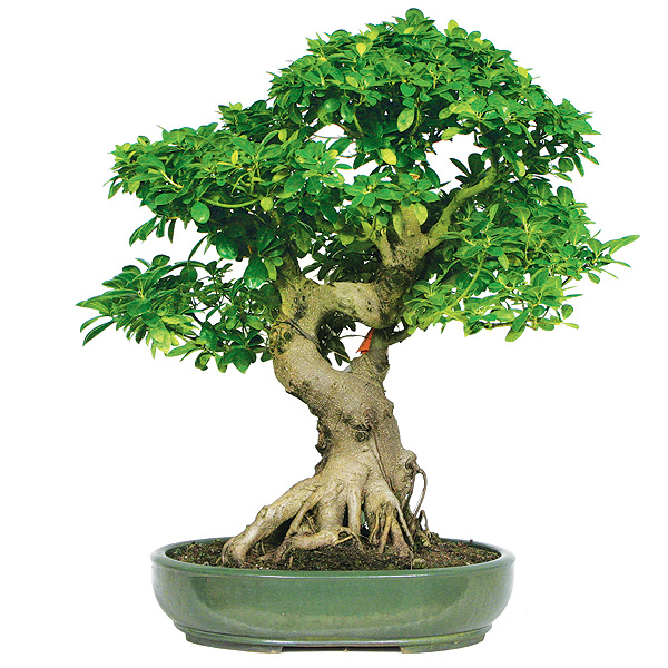 ficus bonsai care bought bonsai tree