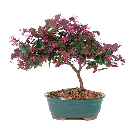 Loropetalum Bonsai Trees - YouTube