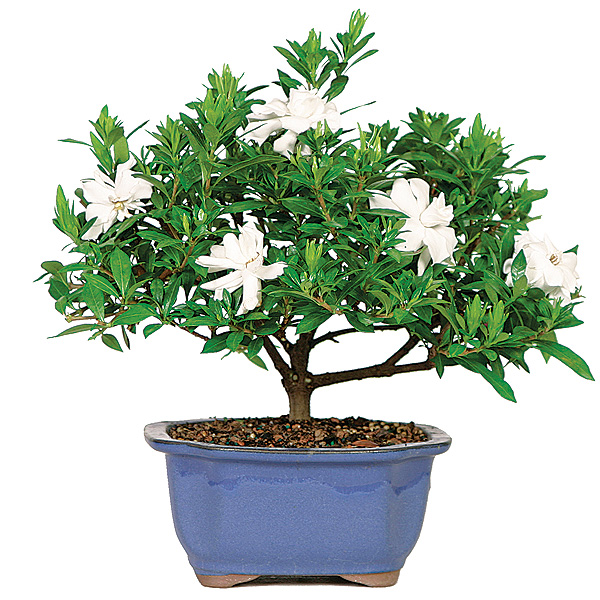 gardenia-bonsai-tree.jpg